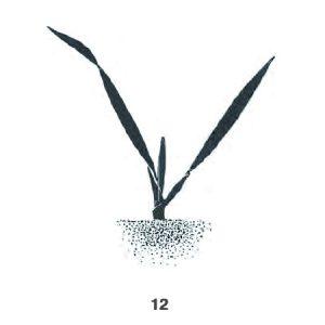2. Laubblatt entfaltet, Spitze des 3. Blattes sichtbar