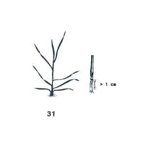 1-Knoten-Stadium: 1. Knoten dicht über der Bodenoberfläche wahrnehmbar