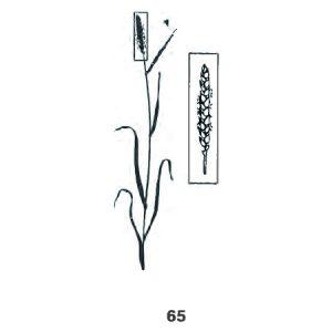 Mitte der Blüte: 50 % reife Staubgefäße