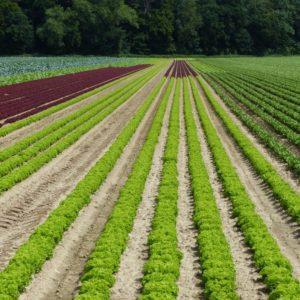 Anbau von bunten Salaten