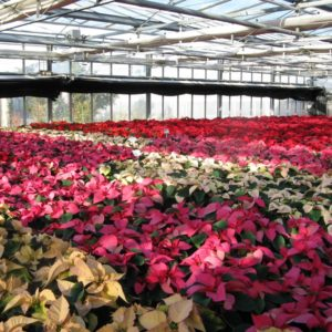Produktion von Poinsettien