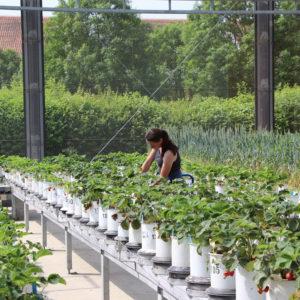 Vegetationshalle im Sommer, hier Erdbeeren