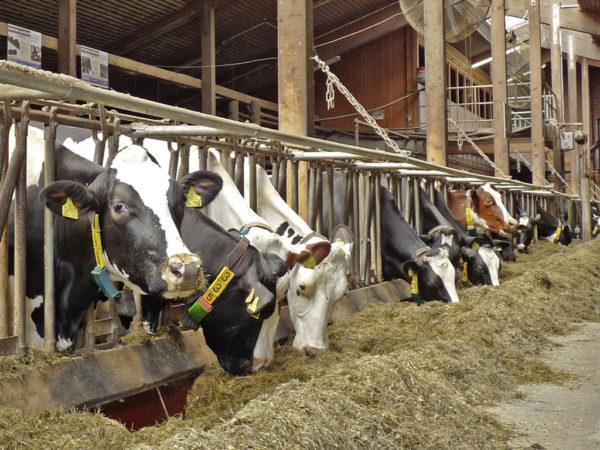 Rinder bei der Fütterung
