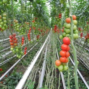 Bodenkultur Tomaten