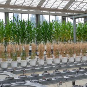 Mais und Hafer in der Vegetationshalle
