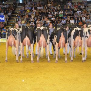 Bestens in Oldenburg in Szene gesetzt: Die Big Point-Töchter zeigten sich als gut entwickelte Kühe mit passender Breite im Oberkörper, klaren Fundamenten und hoch und breit aufgehangenen Eutern.