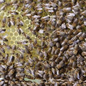 Bienen in Aktion