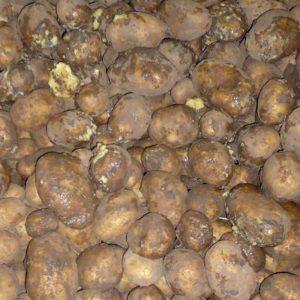 Kartoffeln: Nassfäule