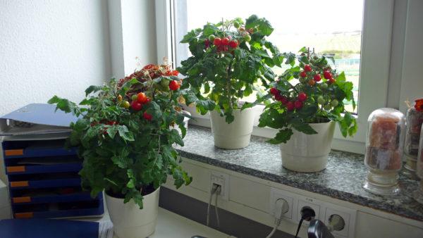 Tomaten auf Fensterbank