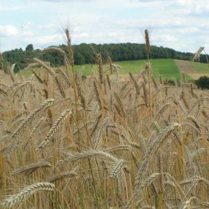 Getreidefeld, Gerste