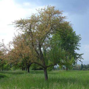 fortgeschrittener Befall an Streuobstbaum