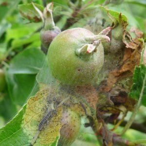 Eingesponnener Apfel mit Raupen