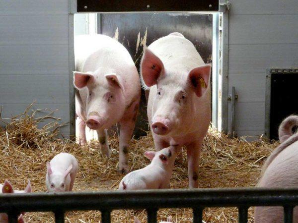 Schweine Antoniushof