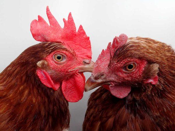 Mobile Hühnerhaltung