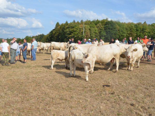 Charolais-Herde