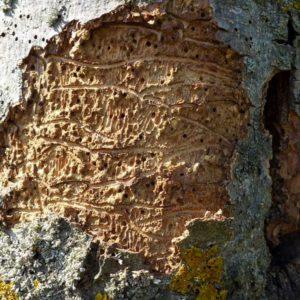 Bohrlöcher des Eschenbastkäfers an einer Baumrinde
