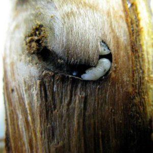 Larven des Ungleichen Holzbohrers