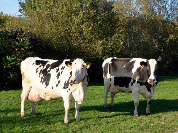 100.000-Liter-Kühe