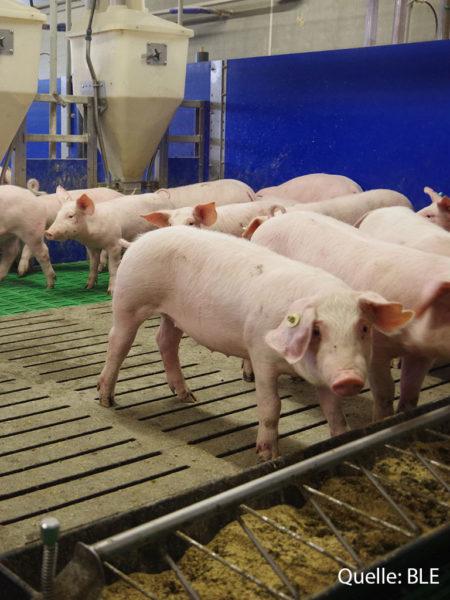 Ranft Schweine