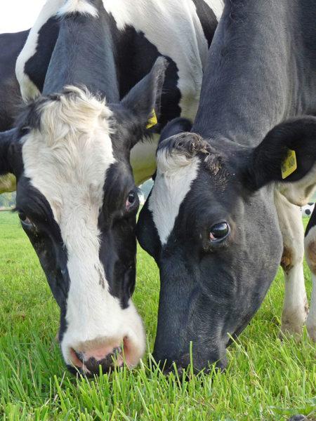 Kühe Weide Nahaufnahme