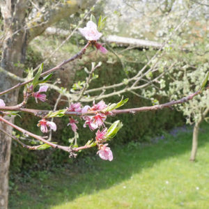 Apfelbaum mit ersten Blüten