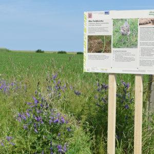 Informationstafel vor einem Feld, im Vordergrund Vogelwicke