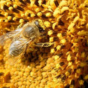 Sonnenblumenblüte mit Biene