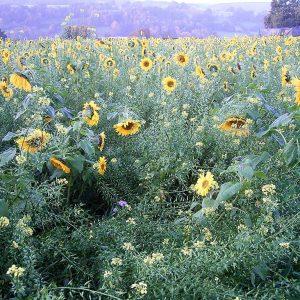 Blühfläche mit Sonnenblumen