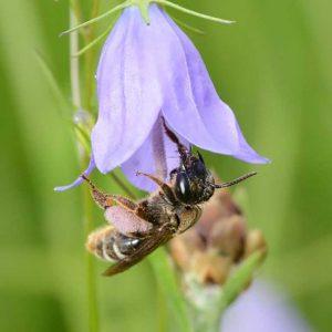 Biene an Glockenblume
