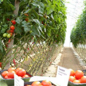 Tomaten in Layer-Kultur im Folienhaus