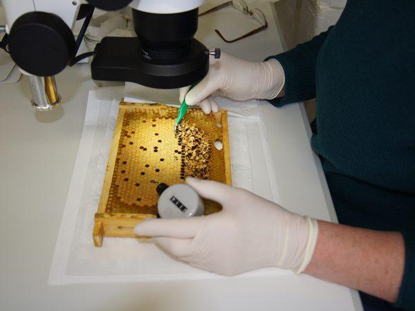 Brutanalyse zur REC- und SMR-Ausprägung am Bieneninstitut Kirchhain