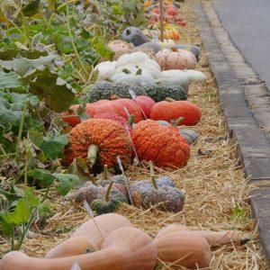 Im Herbst begeistern Kürbisse in allen Formen und Farben