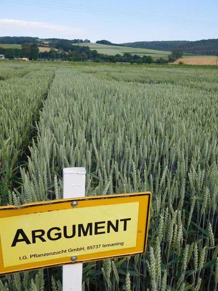 Winterweizenfeld, Sorte: Argument