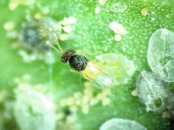 Schlupfwespe (Encarsia formosa)
