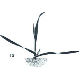 3. Laubblatt entfaltet, Spitze des 4. Blattes sichtbar