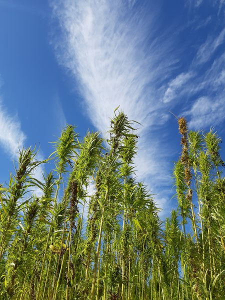 Hanfpflanzen vor blauem Himmel