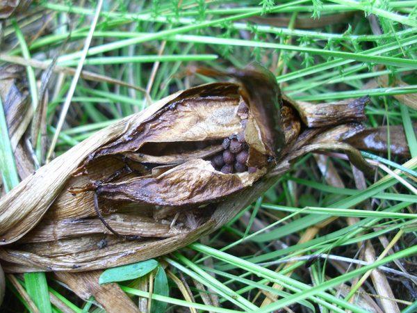 Vertrocknete Herbstzeitlose mit Samenkapsel zwischen Gras