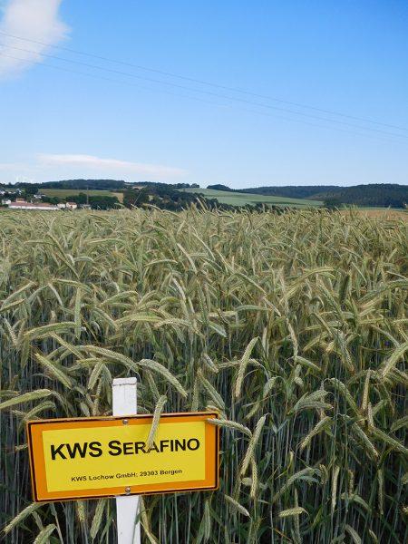 Die Sorte KWS Serafino wurde erstmalig geprüft