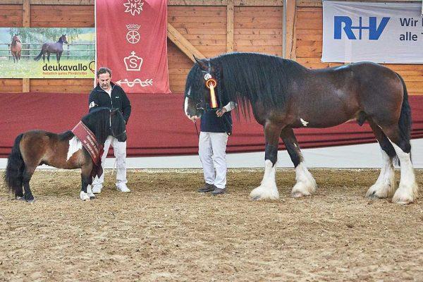 Gesamtreservesieger Elmhorst Solero (links) und Shire Horse Cotebrook Merrick gehörten zu den Publikumslieblingen der Körung; Foto: Joachim Hecker