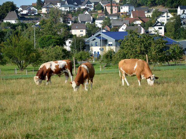 Ein Teil der Weideflächen des Fleckviehzuchtbetriebes Jost in Ellar liegt zwischen dem Oberndorfer Hof und der Ortslage.