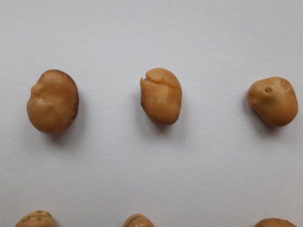 Beschädigte Ackerbohnen mit aufgequollener bzw. abgehobener Schale