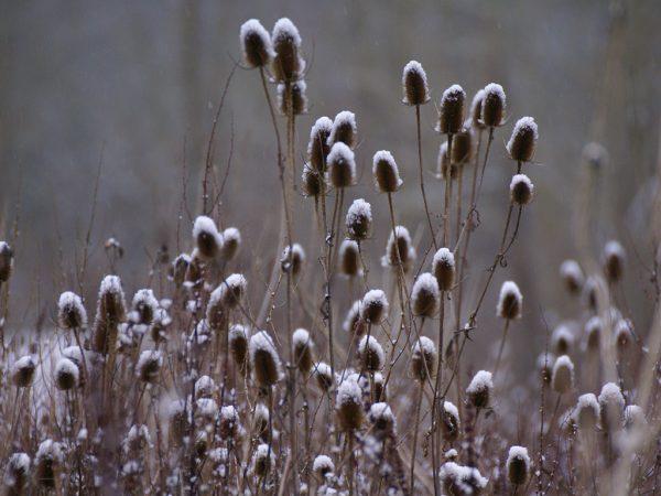 Mit Frost überzogene Samenstände