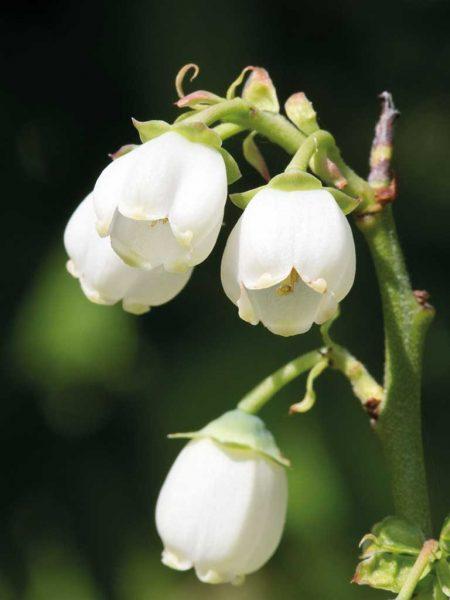 Blüte der Heidelbeere