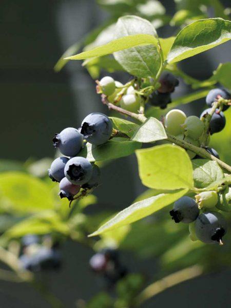 Frucht der Heidelbeere