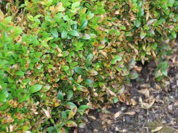 Cylindrocladium buxicola - Schadbild: Zu Beginn treten rundliche, braune Blattflecken auf