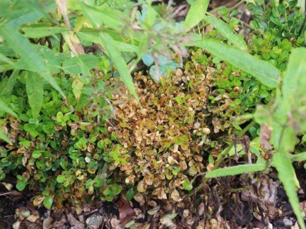 Cylindrocladium buxicola - später nimmt der Laubfall zu, bis die Pflanzen fast völlig verkahlt sind