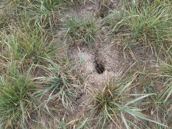 Mauseloch im Grünland