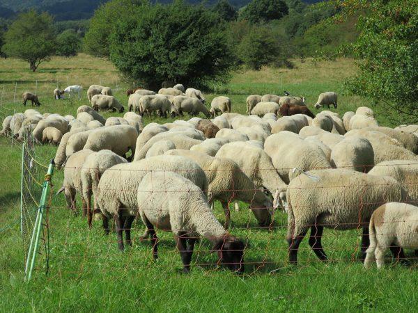 Schafe hinter Weidezaun auf grüne Wiese