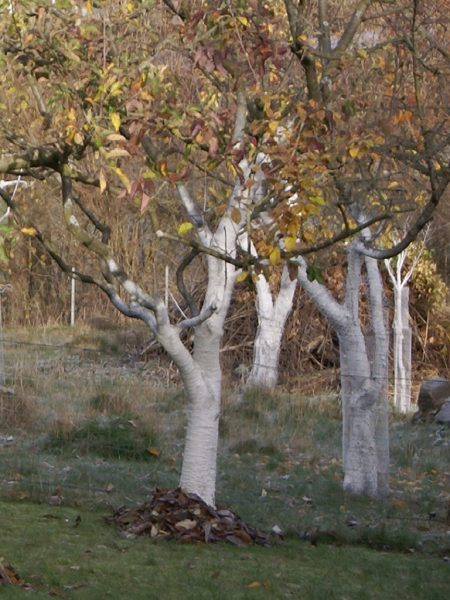 Apfelbäume mit Weißanstrich