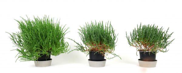 Das Foto zeigt, wie sich ein unterschiedlicher NaCl-Salzgehalt in der Nährlösung auf das Wachstum von Salicornia-Pflanzen auswirkt. V.l.n.r.: stark wüchsige Pflanze aus der Behandlung mit 0,3 %iger Nährlösung, daneben jeweils deutlich schwächer wachsende Pflanzen, versorgt mit 1,05 %iger und mit 1,5 %iger Lösung.